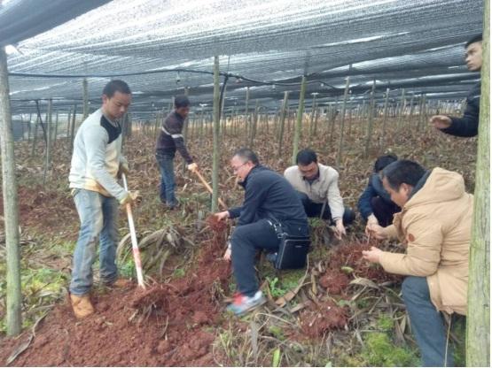 砚山县发展白芨种植初显效益